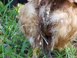 Penyebab dan Cara Mengobati Ayam Berak Hijau | Perawatan Unggas