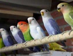 Tempat yang Cocok untuk Ternak lovebird